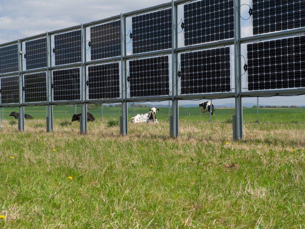 Kühe zwischen den Modulen